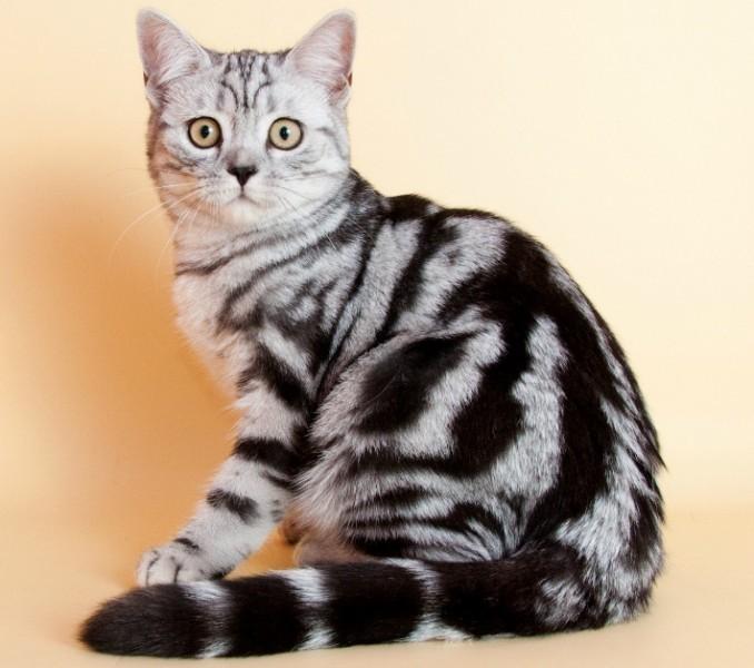 окрасы британских коты окрас картинки разделе