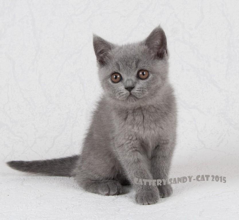 Британская короткошерстная кошка: все о кошке, фото, описание ... | 768x834