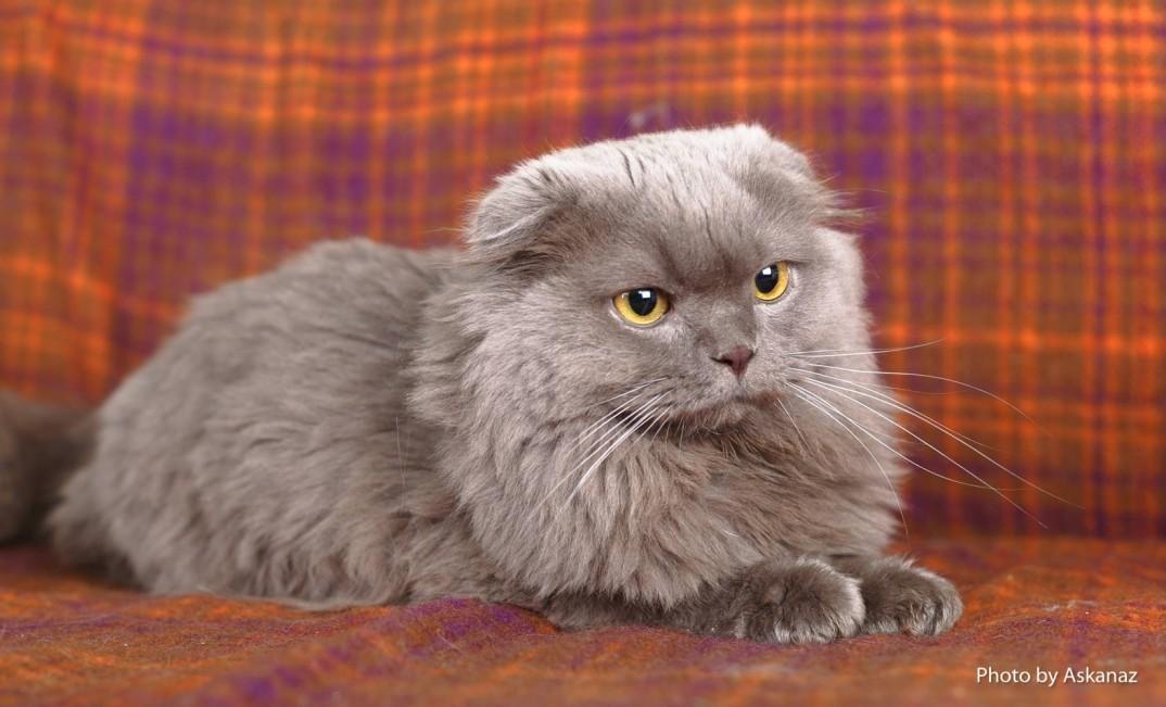 словам самого шотландские вислоухие длинношерстные котята фото чтоб