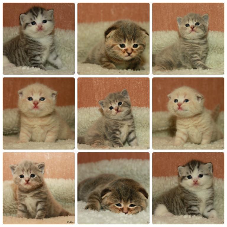 тем окрасы шотландских кошек картинки и название тип встречается славян