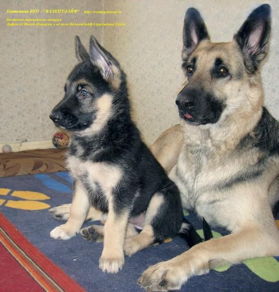 восточная овчарка фото щенки